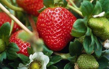 Wie die Erdbeeren im Herbst zu handhaben, so dass sie gut überwintert und im Frühjahr gab viele große duftenden Beeren?