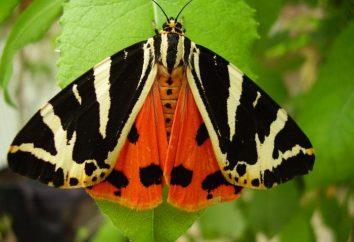 Butterfly posiadać: charakterystyka, dystrybucja, zdjęcia