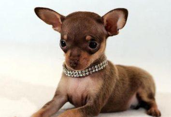 Terrier miniatura de juguete: descripción, la personalidad, la atención y comentarios