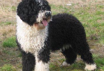 Hiszpański pies wodny. Zdjęcia, ceny, opinie, znak