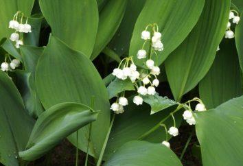 Lily Garten: Pflanzen, Pflege, Foto