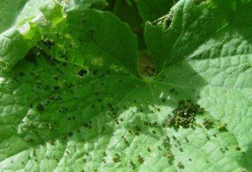 doenças comuns e pragas de pepinos