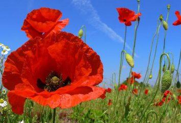 Kwiat maku: opis rośliny