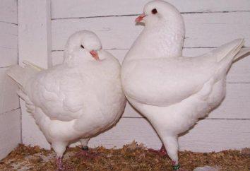 Comment distinguer l'apparence d'une colombe de colombes?