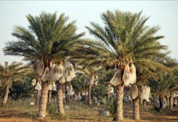 palmiers. Comment faire pousser les dates des os à la maison