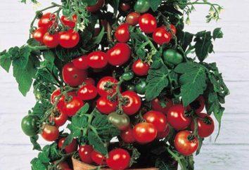"""Tomate """"Bonsai"""": descrição, características, revisões. Crescendo tomates na varanda"""