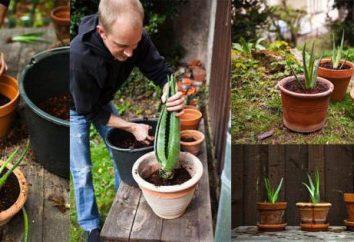 Wie Aloe zu Hause propagieren?