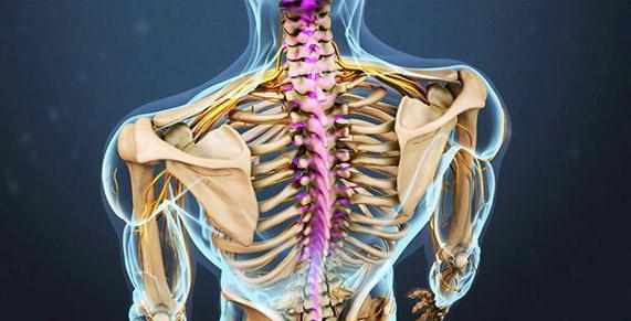 Anatomía de las vértebras cervicales, la estructura y función