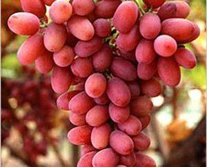 """""""Trasfigurazione"""" – uva, che deve certamente provare!"""