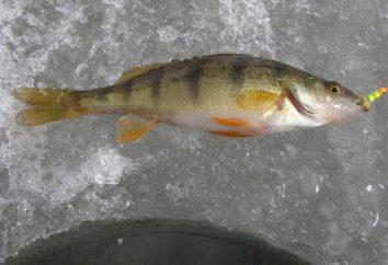 Łapanie okonia na pierwszym lodzie na balanserze, trollingu lub mormyshku. Zimowe łowienie okonia