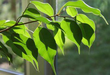 Kwiaty Ficus czy w domu?
