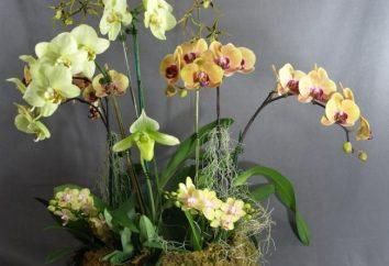 Orchid: cuidado e criação de belezas exóticas
