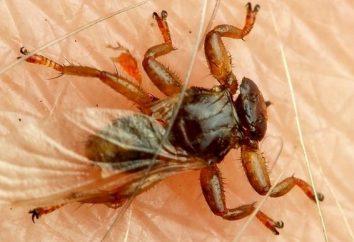 As pulgas alces mais perigoso?