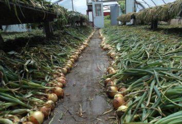 Wie Zwiebeln für den Winter trocknen. Wie die Zwiebeln für den Winter vorzubereiten. So trocknen Zwiebeln nach der Ernte