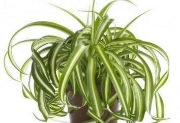 Chlorophytum: proprietà utili impianto poco impegnativo
