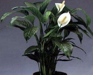 """Piękne rośliny doniczkowe """"szczęście kobiet"""""""