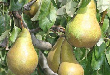 pera colonnare: la varietà e la cura per i semenzali