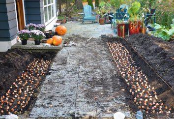 Come conservare i bulbi di tulipano prima di piantare?