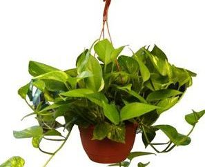 Nós entender por que as folhas amareladas de plantas em vaso. O que devo fazer se as folhas ficam rosas amarelas sala: dicas úteis