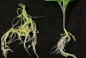 Die Primärstruktur der Wurzel, der Übergang von der primären auf die sekundäre Struktur der Wurzel