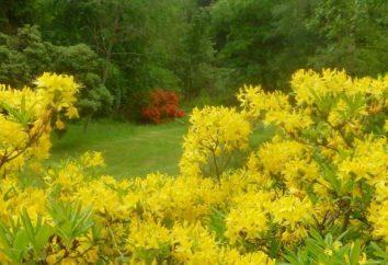 Rhododendren, kälteresistente Sorten: Beschreibung, Eigenschaften, Typen, Anbau und Bewertungen