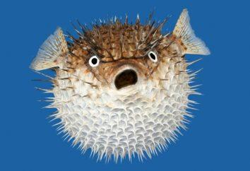 Fish-urchin – una prelibatezza pericoloso