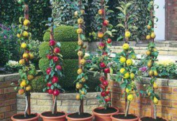 Piantare alberi di mele colonnari in primavera. meli in crescita, varietà
