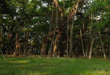 Banyan: Árvore-bosque e um símbolo da Índia
