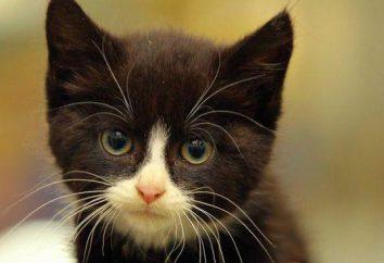 ¿Por qué romper los bigotes gatito? ¿Por qué sucede esto y cómo ayudarlo?