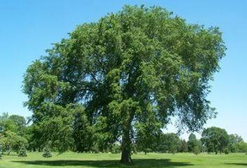 Wiąz górski – drzewo z rosyjskiej duszy