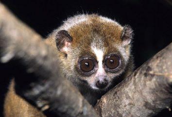 Lemur lori: entretien et soins à domicile