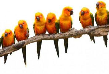 Słońce, papużki, papużki: zdjęcia i opinie