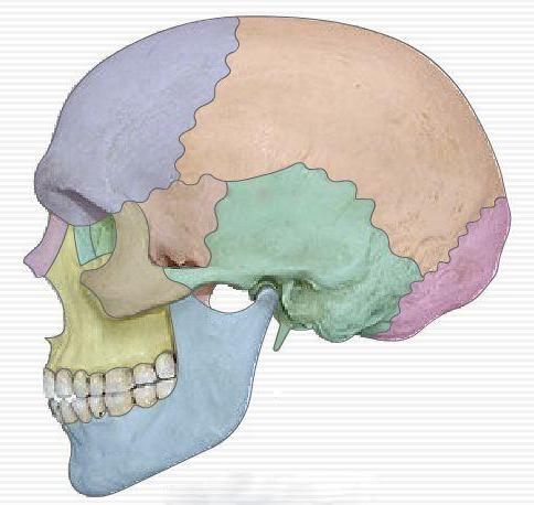 Topografía y la anatomía del cráneo