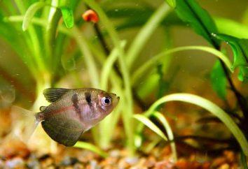 Aquarium tétra noir: l'entretien et de soins, photo