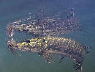 Características de comportamiento de los lucios y lo que para la pesca de lucio en el otoño