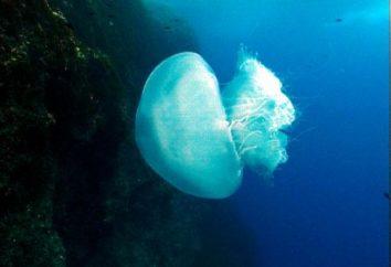 Meduzy w Tunezji – katastrofa dla turystów
