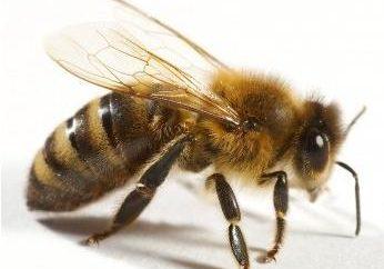 Dicas: O que fazer se uma criança é picado por uma vespa
