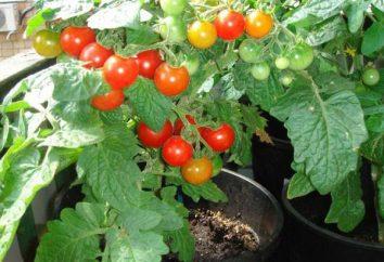 Pinokio (pomidor): opis odmiany, troska, uprawy