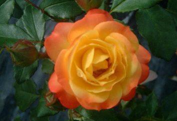 Rose Rumba. Descrizione delle regole di varietà e di assistenza