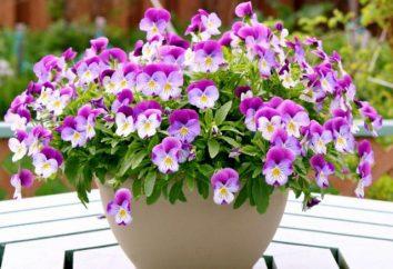 Dlaczego marzysz kwiaty w doniczkach? Co to znaczy, aby podać kwiaty w doniczkach?