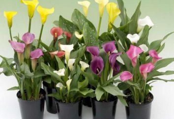 Calla in pentola: la cura a casa, piantare e la coltivazione