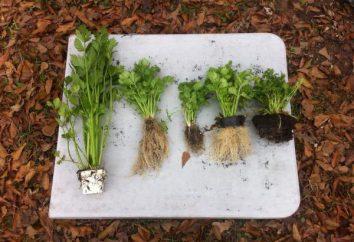 Was ist Sellerie? Bepflanzung und Pflege