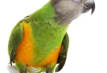 perroquet du Sénégal – le meilleur compagnon