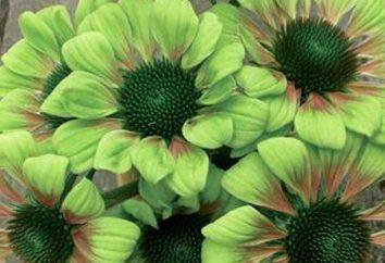 Fleur verte comme un ornement de jardin. Les noms et les photos de couleur verte