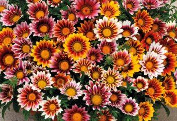 Gazania – kwiat ogród