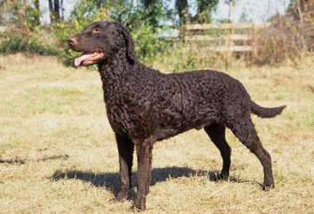 Curly Coated Retriever: zdjęcia i opis