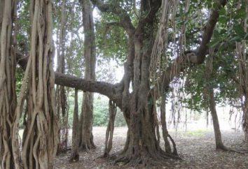 Ficus bengali: soins infirmiers, l'élevage, les conditions de croissance