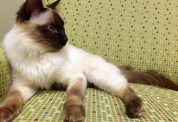 rasy kotów, podobnie jak syjamskie: różnice, wady i zalety