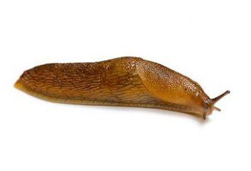Odległość żarłokami noc! Jak radzić sobie z ślimaki w ogrodzie?