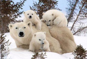 Dia de um urso polar – o que é este feriado e como você pode comemorar?